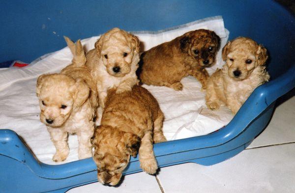 camada perros