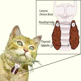 hipertiroidismo en gatos