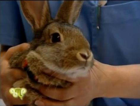 limado dental conejo