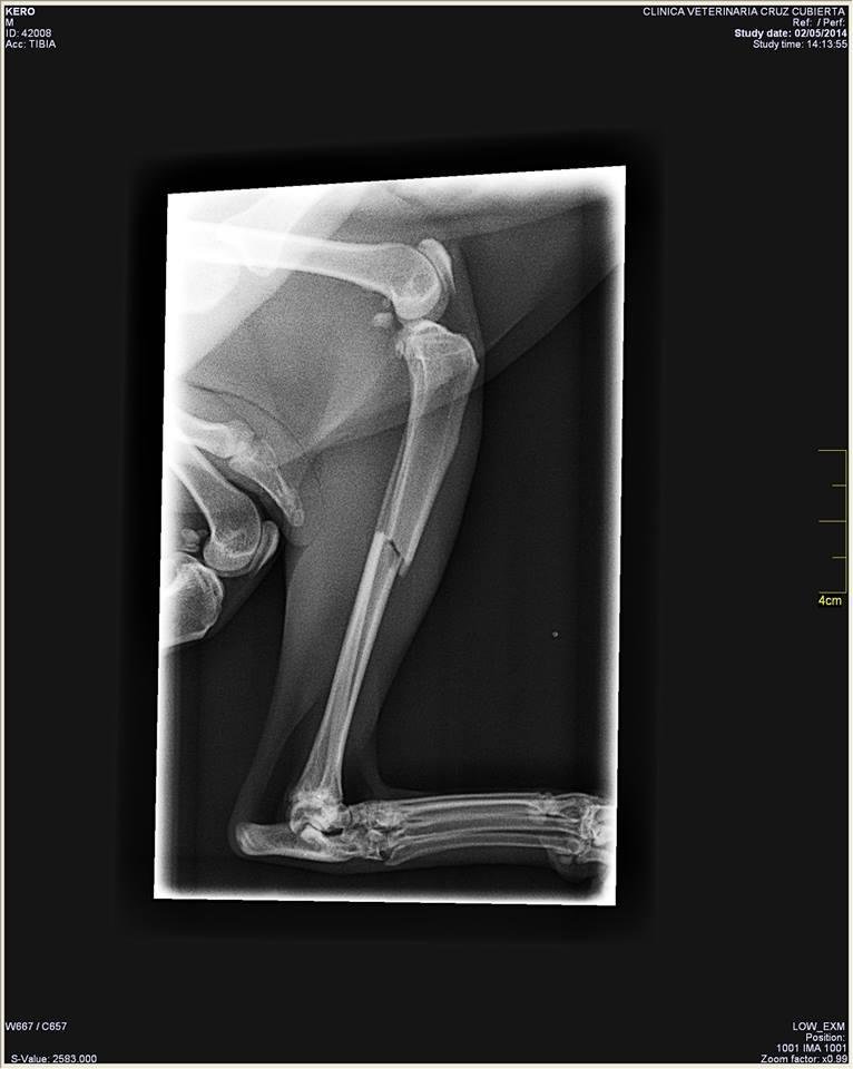 fractura de tibia gato