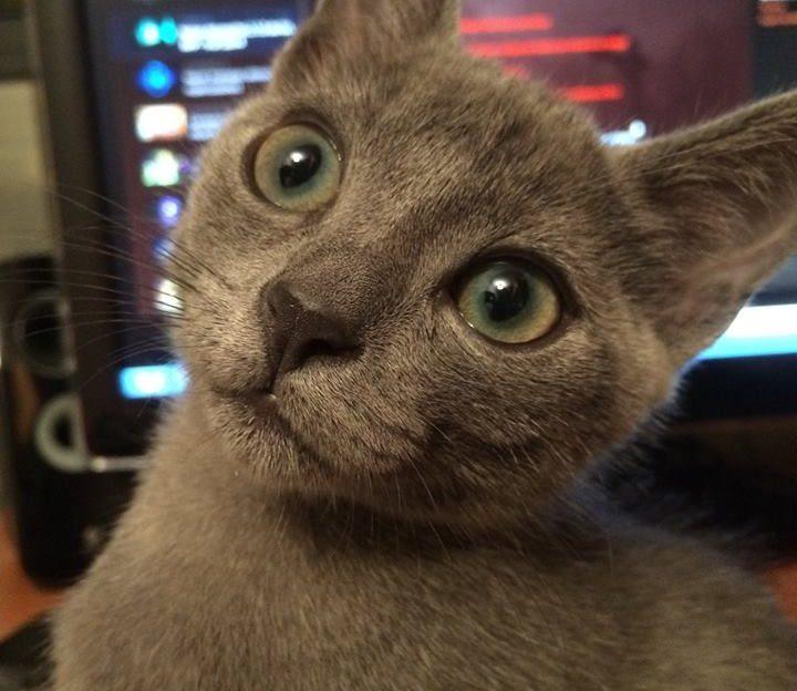 Por qué raspa la lengua de los gatos