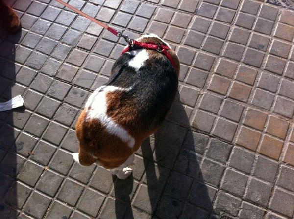 sobrepeso en mascotas