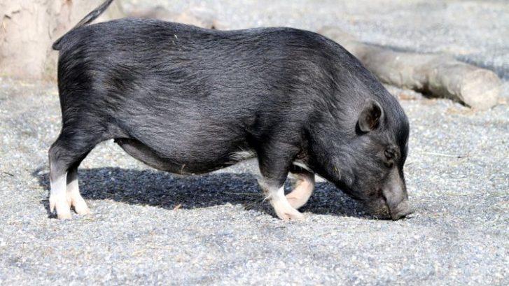 cerdos mascota