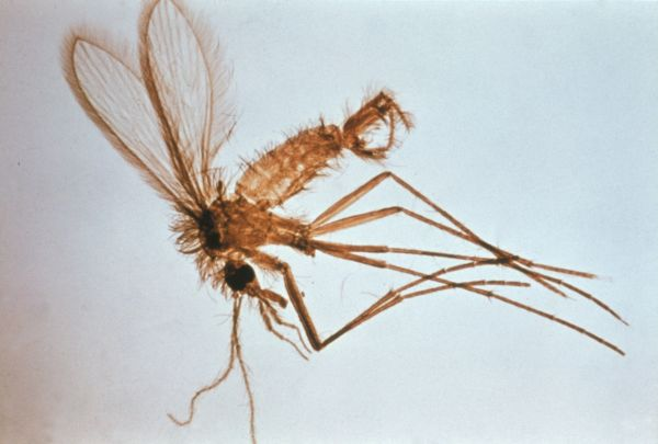 flebótomo leishmania
