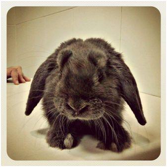 castracion_conejos