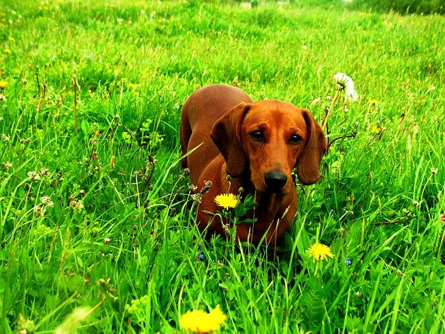 por que los perros comen hierba