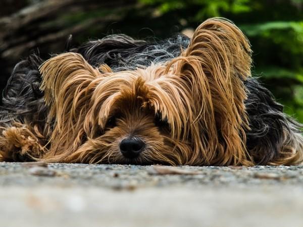 razas de perros en España