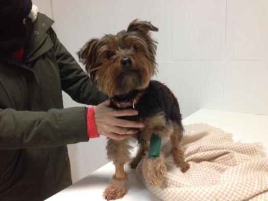 Obstrucción esofágica por hueso navideño en una perra