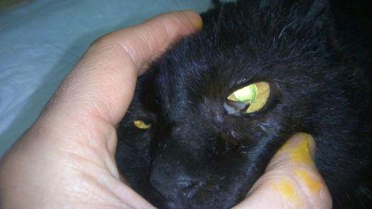 Desgarro del tercer párpado tras una pelea entre gatos