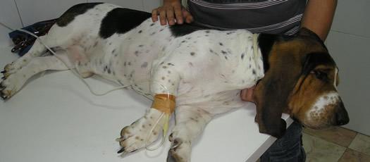 extracción pinzas perro