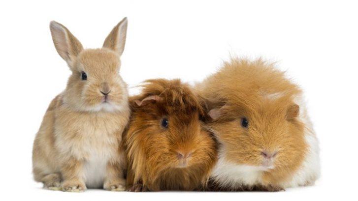 sentidos en conejos y cobayas
