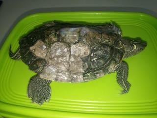 fractura de caparazón en tortuga