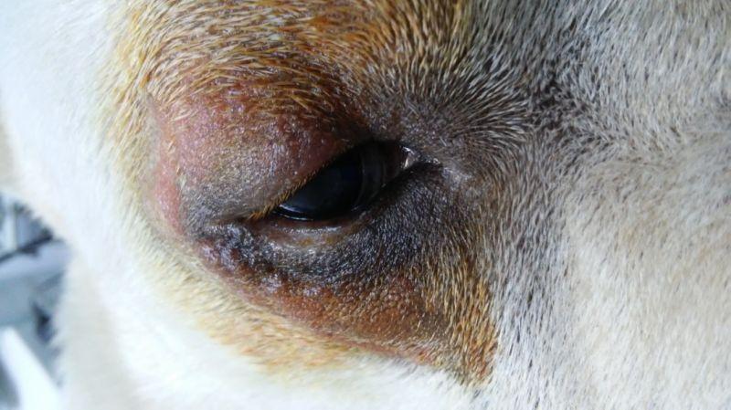 cirugía de entropión en perros