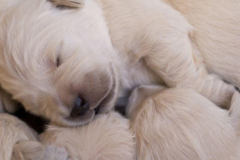 criar cachorros