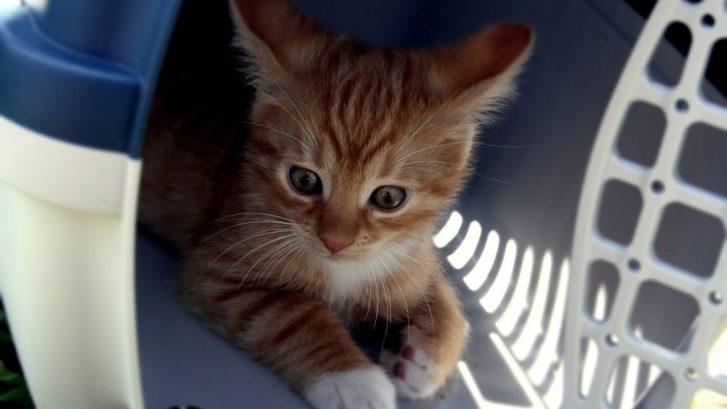 transportar a tu gato en coche