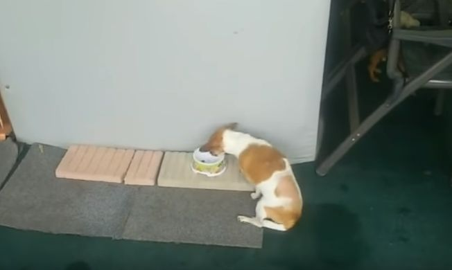 toxoplasmosis en perro