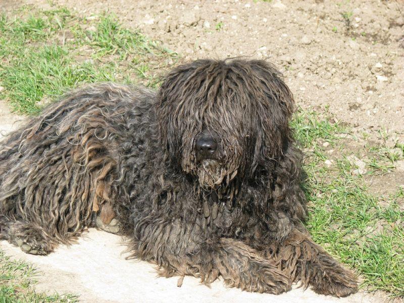 Razas de perros más peculiares Puli