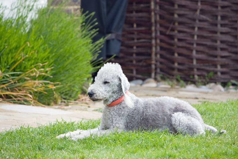 Razas de perros más peculiares bedlington-terrier