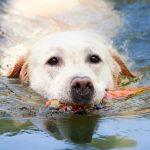 razas nadadoras de perros