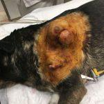 hemangiopericitoma en perro