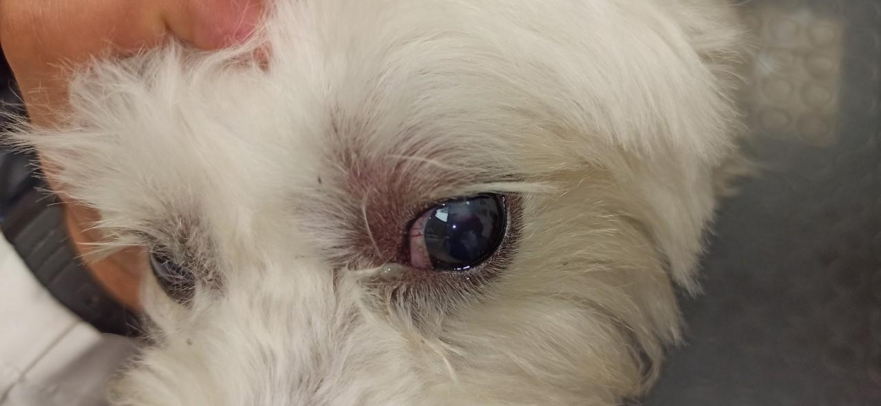 perforacion corneal 2