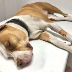 dolor en veterinaria