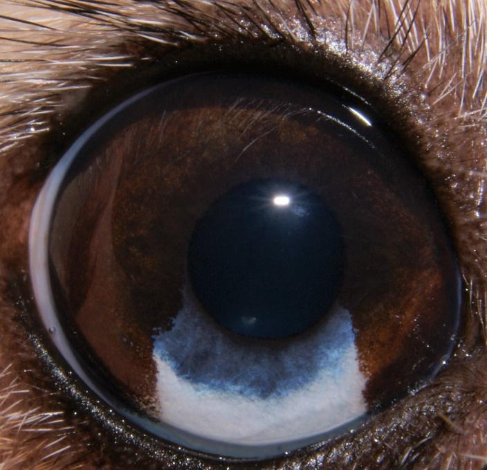heterocromia iridis
