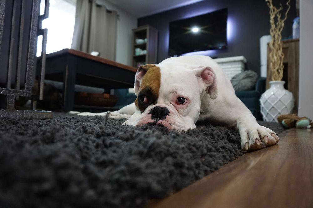 intoxicaciones en mascotas