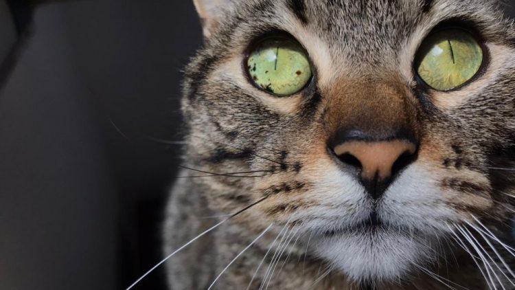 pigmentaciones en los ojos de mascotas