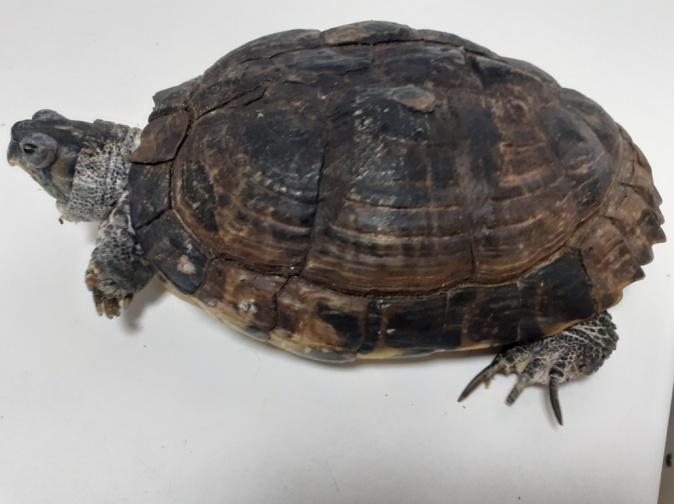 hipovitaminosis A en tortugas
