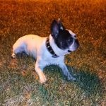 esplenectomia en perro