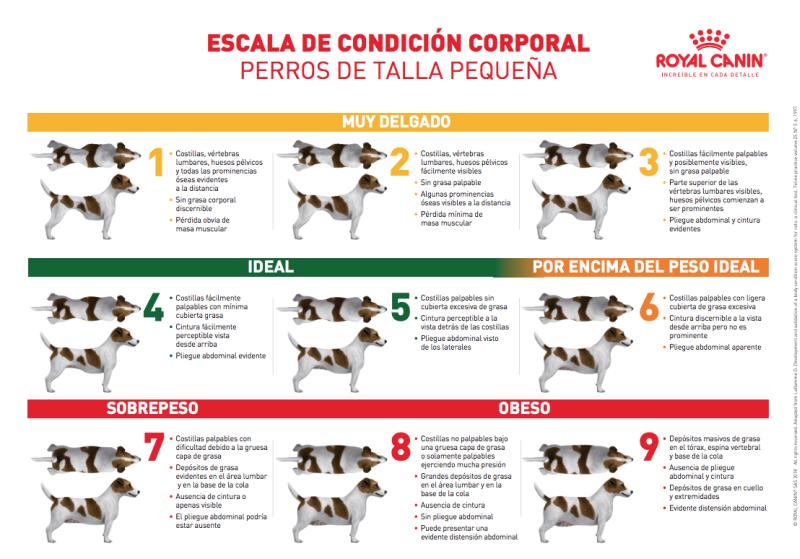 condicion corporal perro pequeño