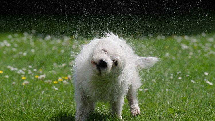 por que se sacuden los perros