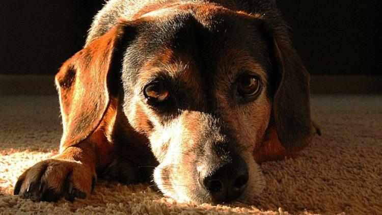 exceso de lagrima en tu perro