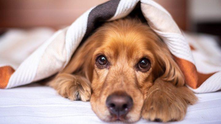 infeccion urinaria en perros