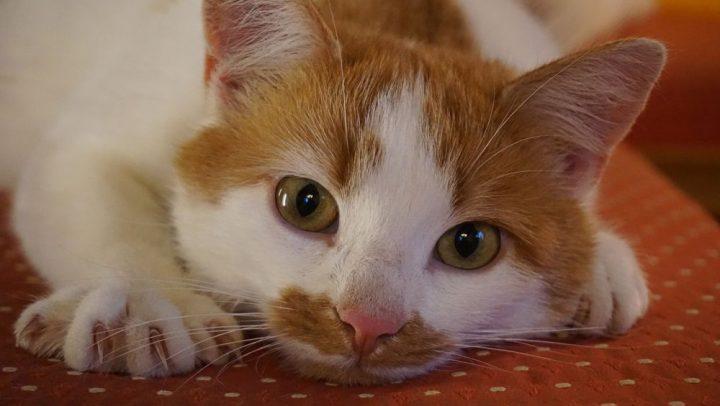 acaros en los oidos de tu gato