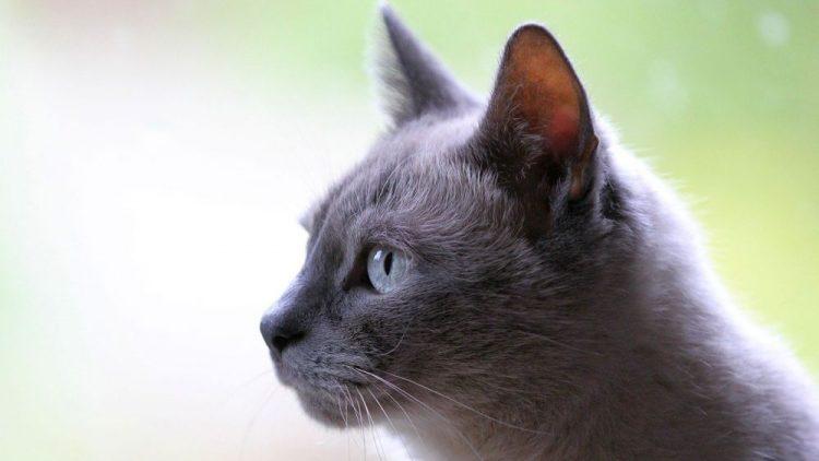 enfermedades más comunes en gatos