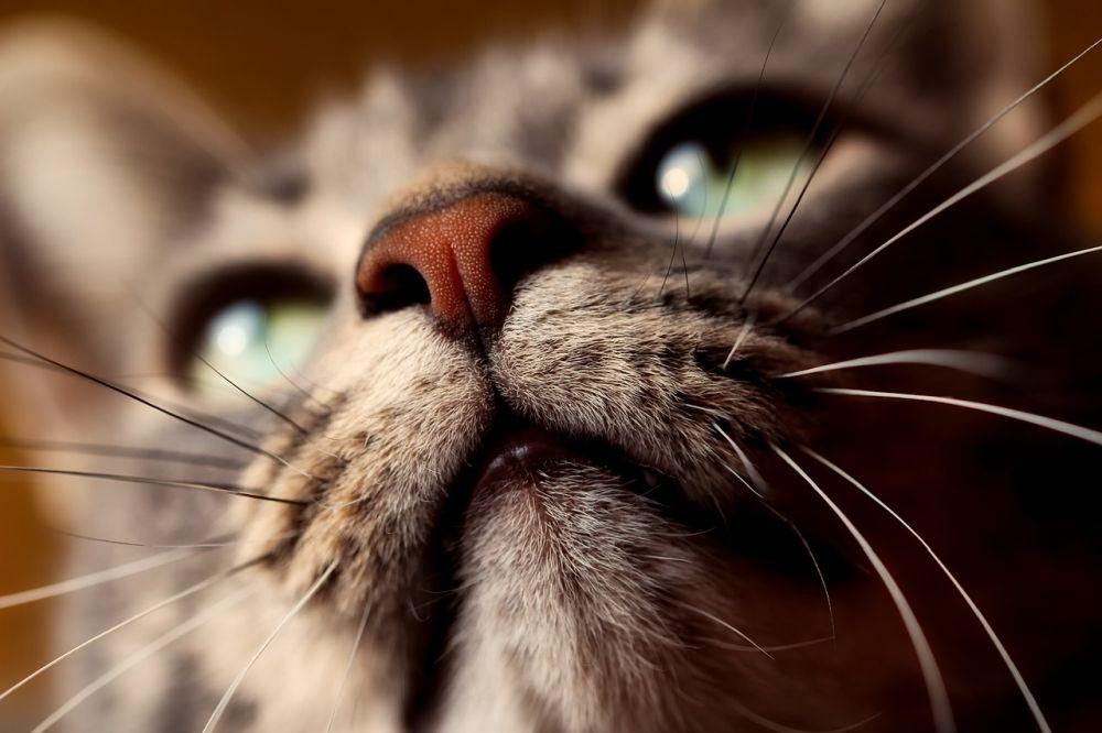 bigotes de los gatos